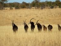 Photo Hippotragues noirs  •  Camp Hwange  • Hwange National Park