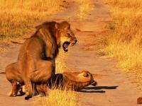 Photo Accouplement lions Camp Hwange • Hwange National Park