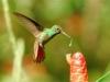 rufous-tailed-hummingbird
