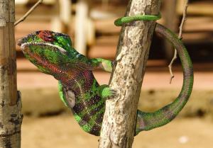 Caméléon, Montagne d'Ambre -Madagascar