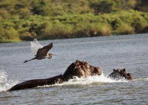 Hippos et héron Goliath