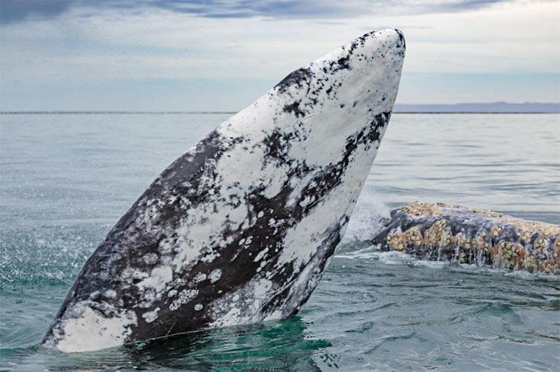 La baleine grise