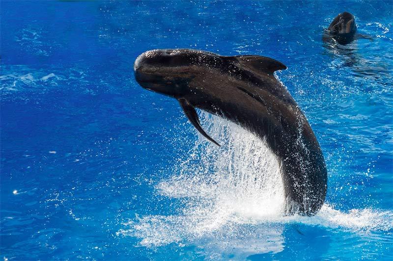 La baleine pilote