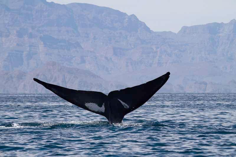 La queue d'une baleine en Basse Californie