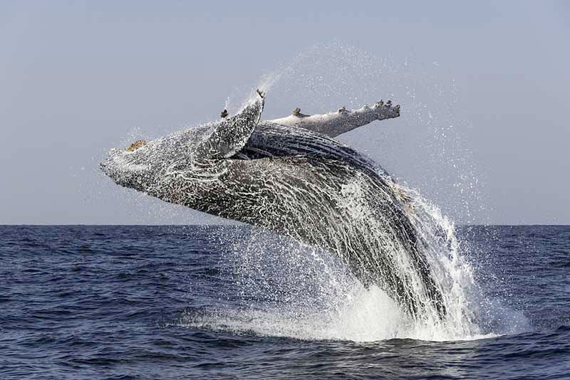 Le saut spectaculaire de la baleine à bosse